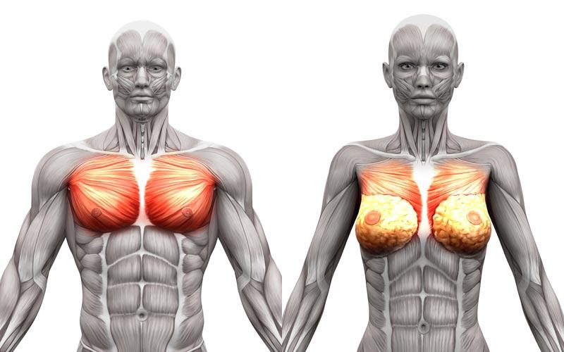 Anatomie der Brustmuskulatur bei Männern und Frauen.