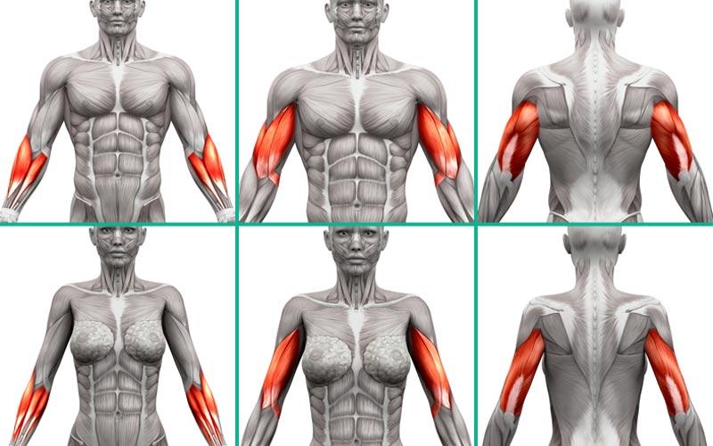 Anatomie der Arme, Bizeps, Trizeps, Unterarm bei Männern und Frauen.