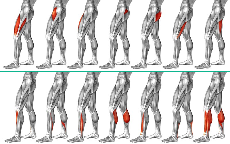 Anatomie der menschlichen Bein-Muskulatur, Oberbein und Unterschenkel.