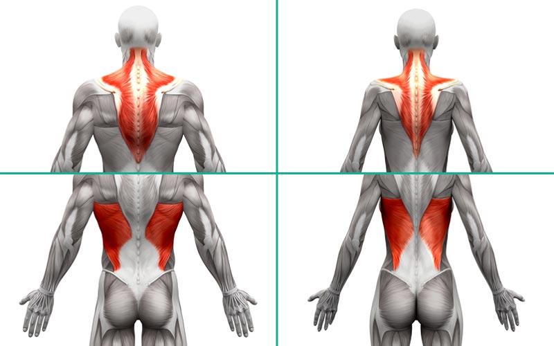 Anatomie der Rückenmuskulatur bei Männern und Frauen.