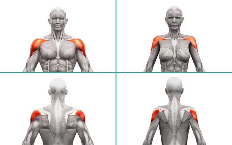 Anatomie des Deltamuskels bei Männern und Frauen.